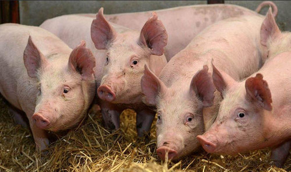 Precizări oficiale: ANSVSA nu interzice creșterea porcilor în gospodării