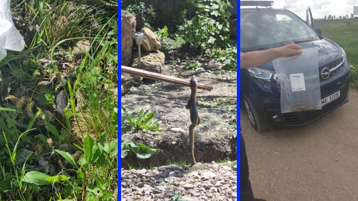 Şerpi în curţi! Jandarmii din Prahova, chemaţi să intervină în mai multe localităţi pentru capturarea reptilelor